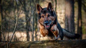 460521-dogs-german-shepherd